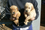 AKC Registered Golden Retriever Puppies